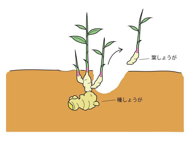 生姜 芽だし